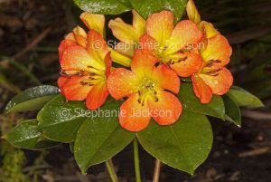 Orange and yellow flowers of Vireya Rhododendron 'Blaze of Glory' with raindrops on petals.