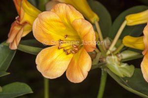 Orange flower of Vireya Rhododendron 'Simbu Sunset'