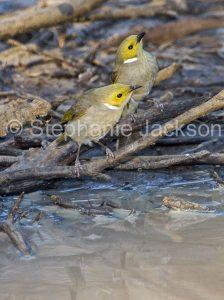 Australian birds, white plumed honeyeaters, Lichenostomus penicillatus, in outback Queensland Australia