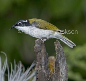 Australian birds, White-throated honeyeater (Melithreptus albogularis) in Queensland Australia