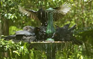 flock of white-winged choughs, Corcorax melanorhamphos, cooling off in a garden fountain in Queensland Australia
