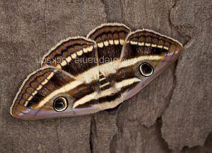 White banded noctuid moth, Donuca orbigera, on weathered fence post