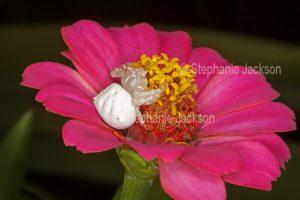 White crab spider, Thomisus spectabilis, on a pink zinnia flower in a garden in Queensland Australia.