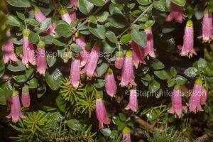 Pink flowers of Australian shrub, Correa species, native fuchsia, at Rupanyup in Victoria Australia.