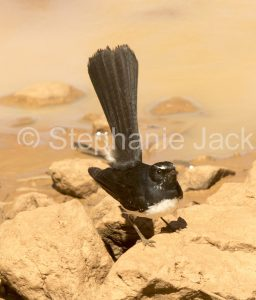 Willie / Willy Wagtail (Rhipidura leucophrys) in outback Queensland Australia.