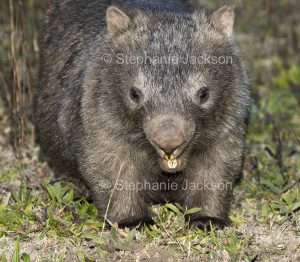 Australian wombat, nocturnal animal. in the wild in Dharug National Park NSW Australia