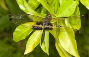 Yellow-striped flutterer dragonfly, Rhyothemis phyllis, in Queensland Australia.