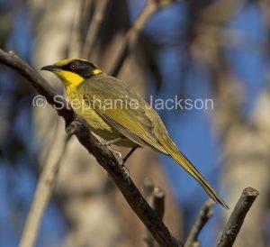 Australian birds - yellow-tufted honeyeater (Lichenostomus melanops)
